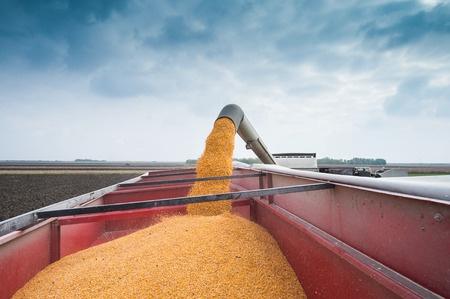 grain truck full of corn at harvest