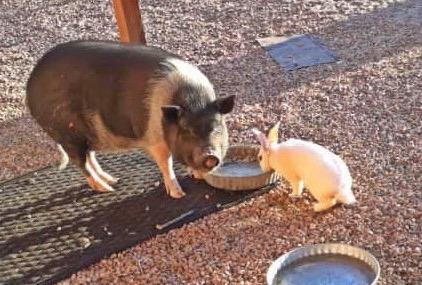 stock market pig image